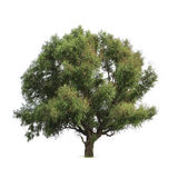 Green big tree. With white background Royalty Free Stock Image