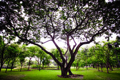 Green big tree in the park Royalty Free Stock Images