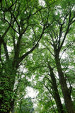 Green big trees. The trees are tall and big,green leaves covered with branches Stock Photography