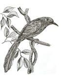 Green-billed Malkoha bird drawing. The original drawing of birds on white paper, Green-billed Malkoha Royalty Free Stock Photo