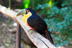 Green-billed (Red-breasted) toucan Stock Images