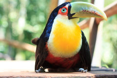 Green-billed (Red-breasted) toucan on sidewalk Stock Photos