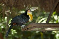 Green-billed toucan, Foz de Iguacu, Brazil stock photography