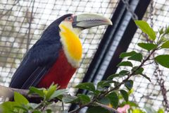 The green-billed toucan. & x28;Ramphastos dicolorus& x29;, or red-breasted toucan royalty free stock images