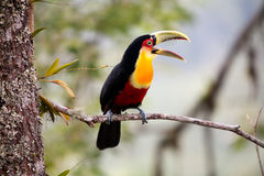 green-billed toucan with open beak stock photos
