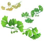 Green biloba twigs Stock Photo
