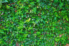 Green bindweed background Stock Photography