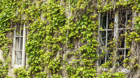 Green bindweed leaves on an old building facade Royalty Free Stock Photo