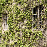 Green bindweed leaves on an old building facade Stock Images