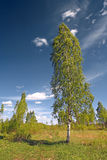 Green birch Stock Image