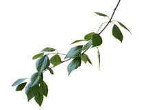 Green birch branch isolated on a white background Stock Photos