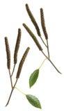 Green birch buds Stock Image