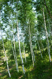 Green birch   forest Royalty Free Stock Photography