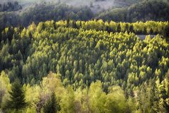 Green birch forest in the spring. Royalty Free Stock Photo