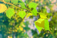 Green birch in a forest Stock Images