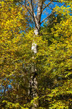Green birch forest on a sunny day against the blue sky Stock Photo