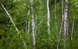 Green birch grove Royalty Free Stock Photography