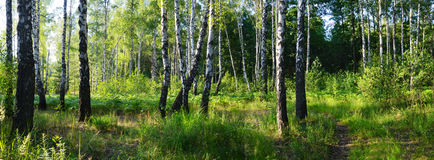 Green birch grove Stock Photos