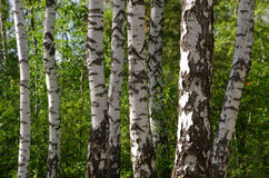 Green birch grove Royalty Free Stock Image