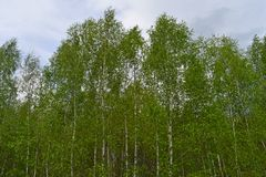 Green birch grove on a sunny summer day. Landscape background stock image