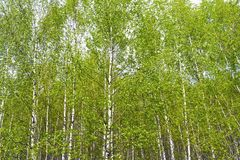 Green birch grove on a sunny summer day. Landscape background royalty free stock images