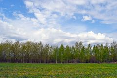 Green birch grove on a sunny summer day. Landscape with forest, field with yellow flowers and green grass, blue sky with white clouds. Natural background stock images