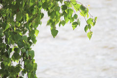 Green birch leafage. On water background at the summer Stock Image