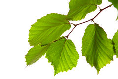 Green birch leafs. Royalty Free Stock Image