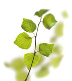 Green birch leaves. First green spring birch leaves on white backround stock photo