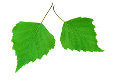 Green birch leaves. Isolated on white stock images