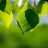 Green birch leaves Royalty Free Stock Image