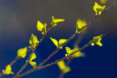Green birch leaves Stock Images