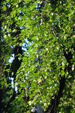 Birch leaves flutter in the wind. Green birch leaves flutter in the wind. Bright foliage leaves at the end of sunny spring royalty free stock images