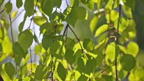 Green birch leaves motion at wind stock video footage