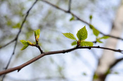 Green birch leaves Stock Image