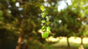 Green birch leaves swaying in the summer park.