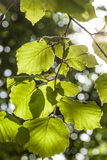 Green birch leaves at the tree Royalty Free Stock Photography