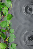 Green birch leaves in the water in the rain Stock Photos