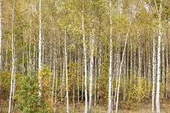 Green birch leaves Royalty Free Stock Photos