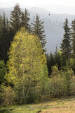 Green birch. In summer below the mountain ridge Royalty Free Stock Photos