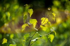 Green birch tree leaves in summer. Green tree leaves in summer and bokeh stock photography