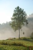 Green birch tree in the morning fog Stock Photography