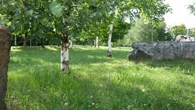 Green birch trees on a clearing in the garden between large stones on the lawn. The sun illuminates the leaves stock footage