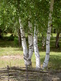 Green birches Stock Image