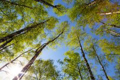Green birchwood in a sunny day Stock Photos