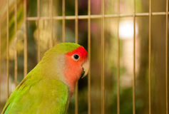 Bird in a birdcage. A green bird in a birdcage, hope to escape from birdcage Stock Images