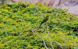 The green bird on the branch Royalty Free Stock Image