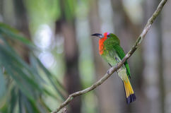 Green bird on branch. Red-bearded Bee-eaterNyctyornis amictus, beautiful bird on branch Stock Photo