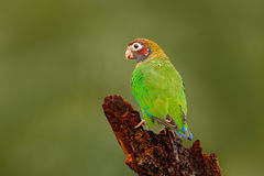 Green bird from Central America. Brown-hooded Parrot, Pionopsitta haematotis, portrait light green parrot with brown head. Detail. Of bird Stock Images