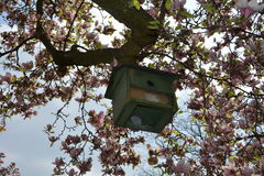 Green bird house hangs on the blossoming magnolia tree Royalty Free Stock Image